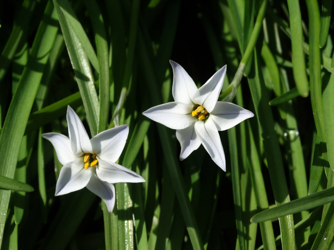Ipheion uniflorum'Whisley Blue' 1